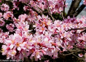 early bloom pink tree