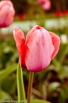 yesteryear tulip