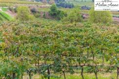 Vines after harvest!