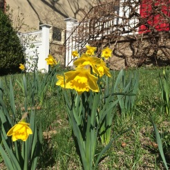 YAY!!! The Daffodils are blooming.