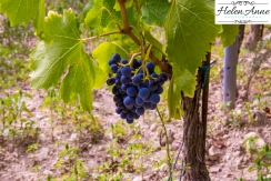 Grapes on the vine!