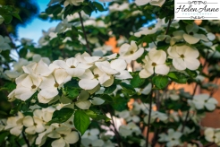 Dogwood trees are one of my favorite trees!