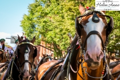 Clydesdales Doylestown 2016-9811-4
