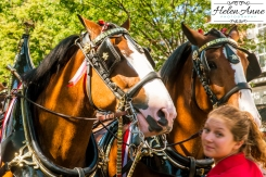 Clydesdales Doylestown 2016-9823-7