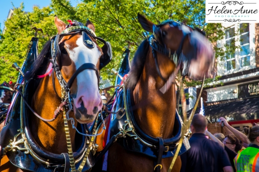 Clydesdales Doylestown 2016-9828-10