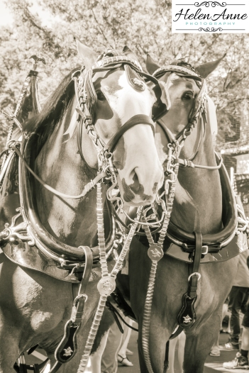 Clydesdales Doylestown 2016-9829-11