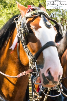 Clydesdales Doylestown 2016-9830-12