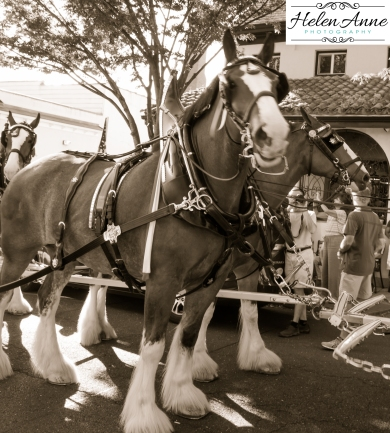Clydesdales Doylestown 2016-9923-33