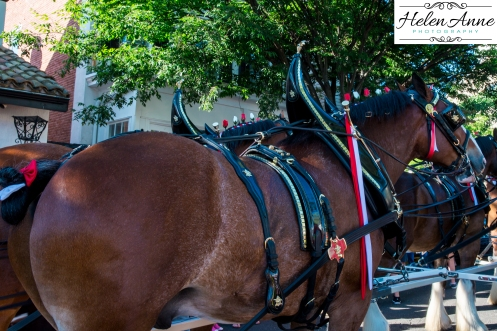 Clydesdales Doylestown 2016-9961-44
